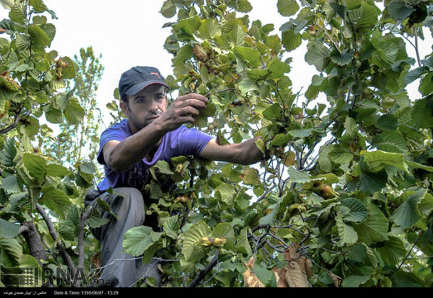 Hazelnut Harvest 3