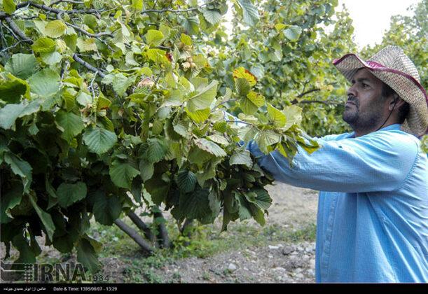 Hazelnut Harvest 30