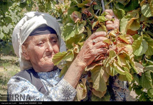 Hazelnut Harvest 39