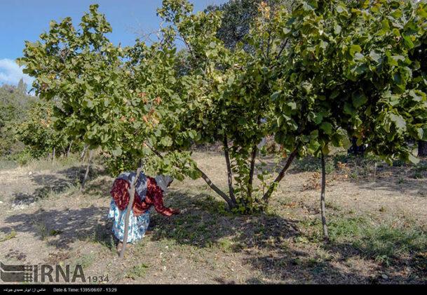 Hazelnut Harvest 4