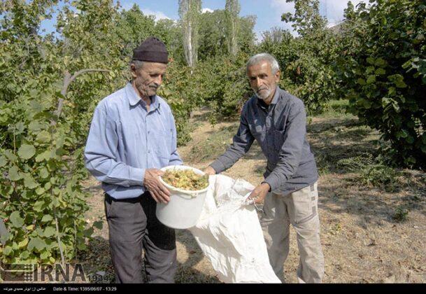 Hazelnut Harvest 40