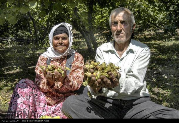 Hazelnut Harvest 43