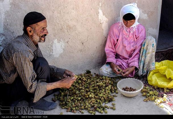 Hazelnut Harvest 48