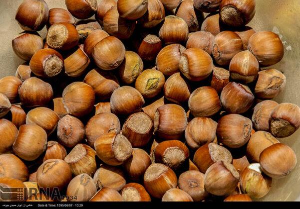 Hazelnut Harvest 49