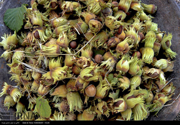 Hazelnut Harvest 6