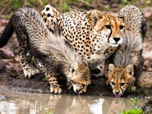Iranian-cheetah2