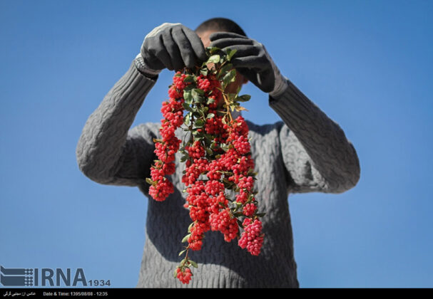 Barberry Harvest
