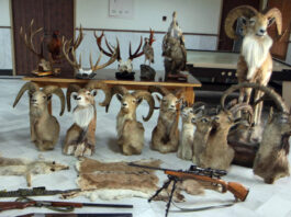 taxidermied