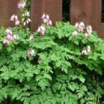 Medical Herbs-Shahtareh