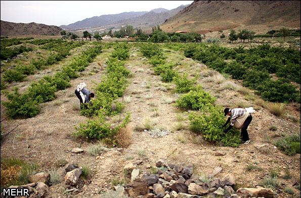 صناعة ماء الورد في ايران-1
