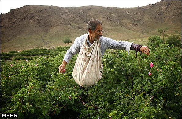 صناعة ماء الورد في ايران-23