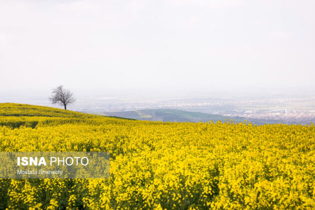 Rapeseed Fields in Northern Iran-12