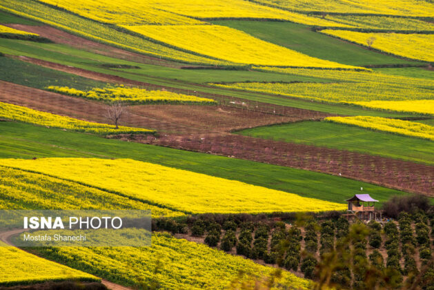 Rapeseed Fields in Northern Iran-08