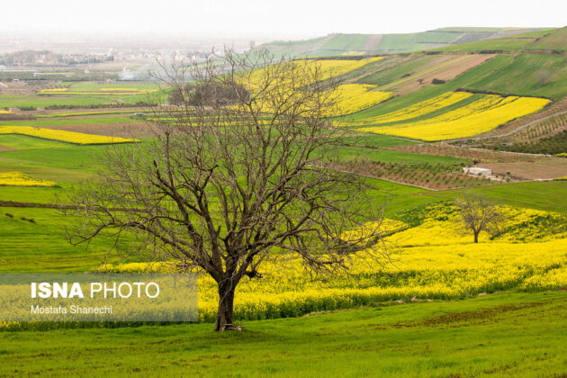 Rapeseed Fields in Northern Iran-09