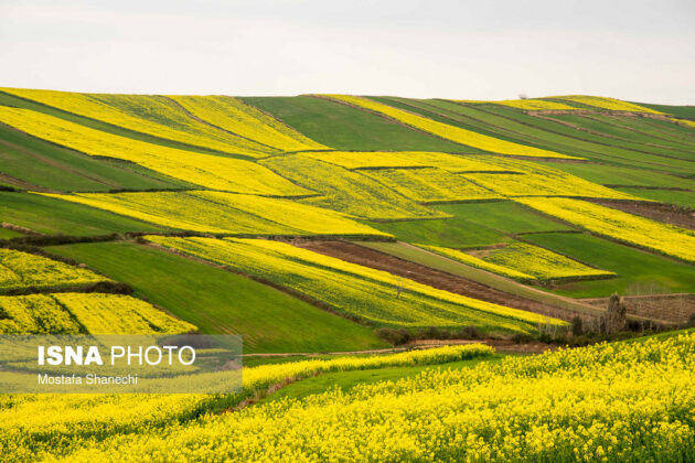 Rapeseed Fields in Northern Iran-10