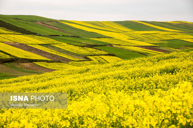Rapeseed Fields in Northern Iran-11