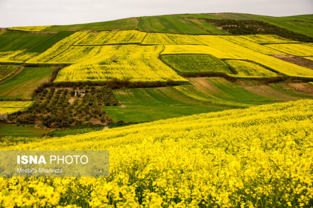 Rapeseed Fields in Northern Iran-13