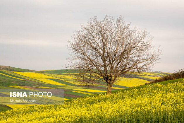 Rapeseed Fields in Northern Iran-14
