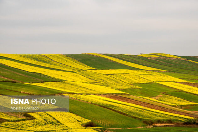 Rapeseed Fields in Northern Iran-15