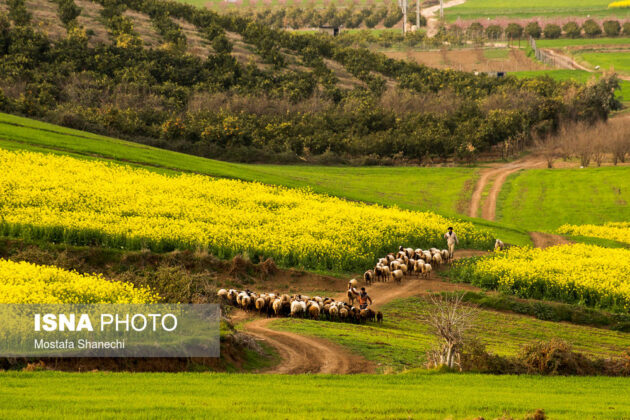 Rapeseed Fields in Northern Iran-16