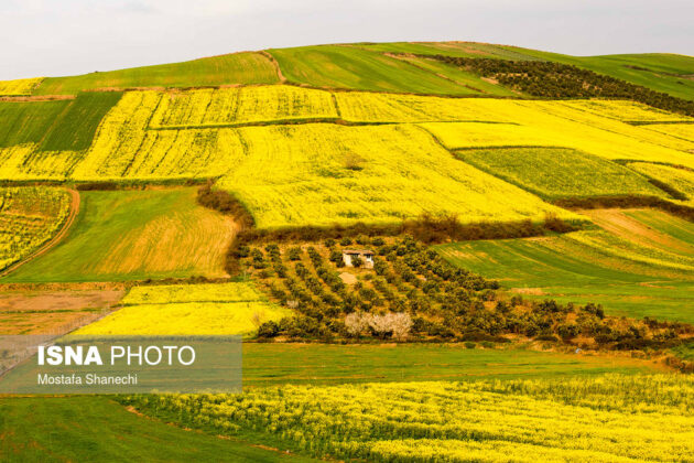 Rapeseed Fields in Northern Iran-17