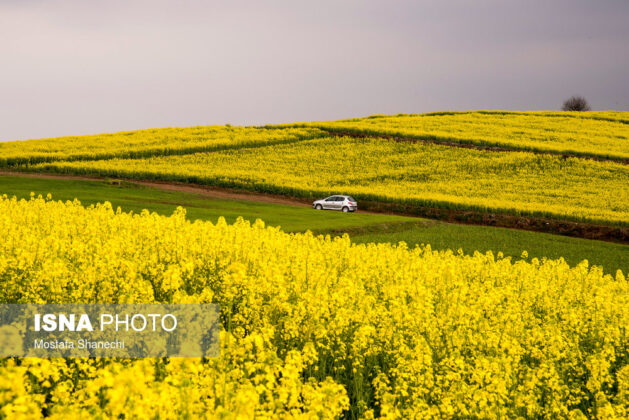 Rapeseed Fields in Northern Iran