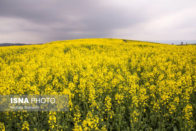 Rapeseed Fields in Northern Iran-01