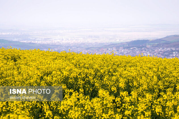 Rapeseed Fields in Northern Iran-03