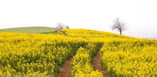 Rapeseed Fields in Northern Iran-04