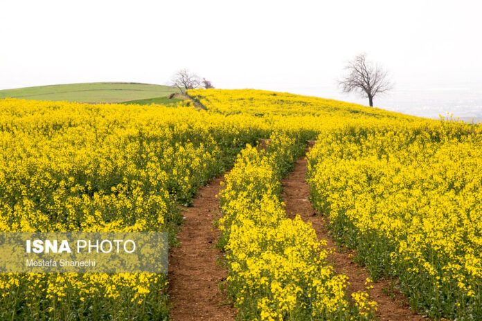Rapeseed Fields in Northern Iran-04