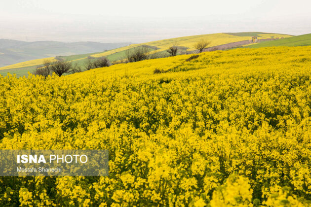 Rapeseed Fields in Northern Iran-05