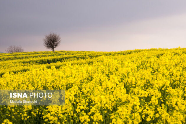 Rapeseed Fields in Northern Iran-06