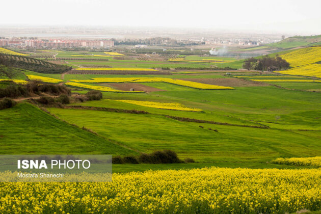 Rapeseed Fields in Northern Iran-07