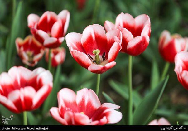 طهران.. الحدائق العامة وزهور التوليب 10