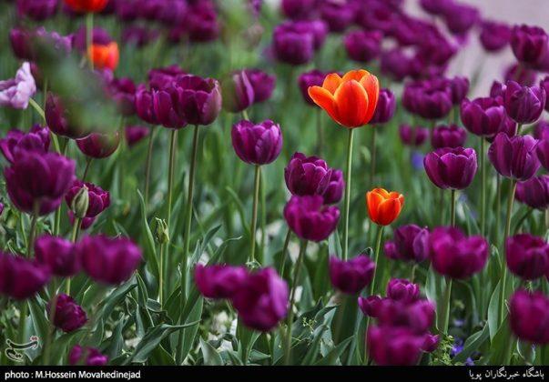 طهران.. الحدائق العامة وزهور التوليب 12