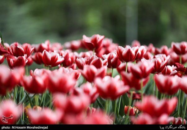 طهران.. الحدائق العامة وزهور التوليب 16