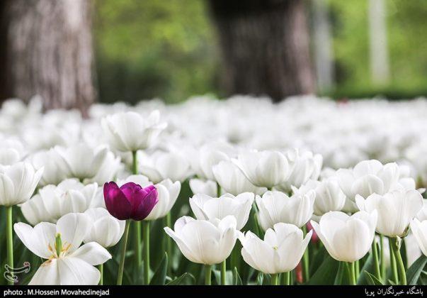 طهران.. الحدائق العامة وزهور التوليب 19