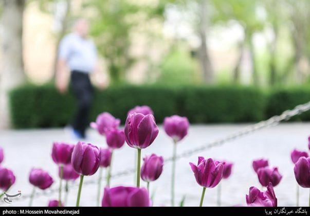 طهران.. الحدائق العامة وزهور التوليب 4
