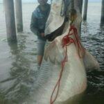600kg Beluga Caught from Caspian Sea