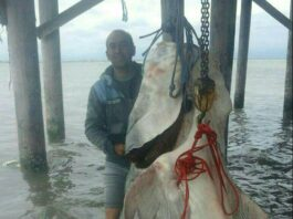 600kg Beluga Caught from Caspian Sea