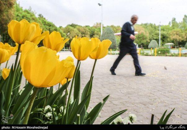 طهران.. الحدائق العامة وزهور التوليب 7