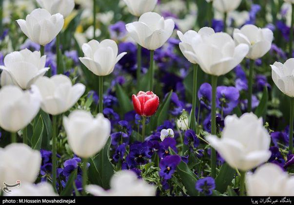 طهران.. الحدائق العامة وزهور التوليب 9