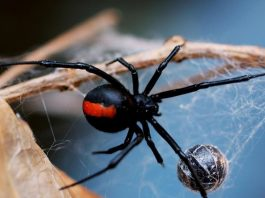 العناكب يمكنها أكل جميع البشر على سطح الأرض