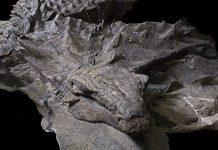 اخیراً فسیلی از یک نوع دایناسور زرهی کشف شده که مربوط به 110 میلیون سال پیش است. این بهترین فسیل کشف شده از این نوع دایناسور است و اطلاعات ارزشمندی درباره این گونه در اختیار دانشمندان قرار میدهد.