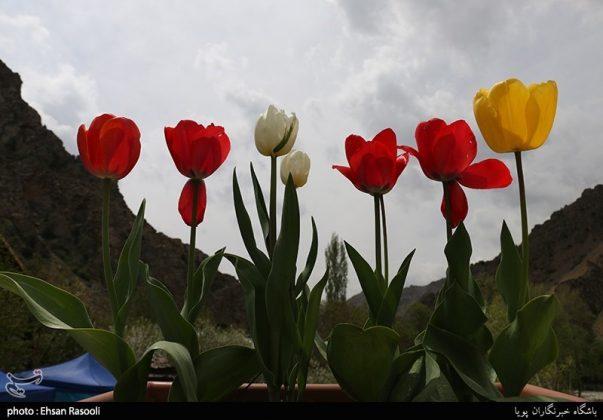 ایران .. أزهار التوليب10
