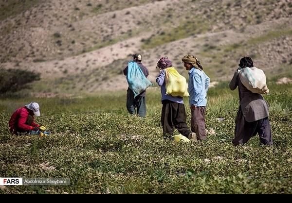 """جني """"الشمام"""" في محافظة هرمزكان جنوبي ايران 10"""