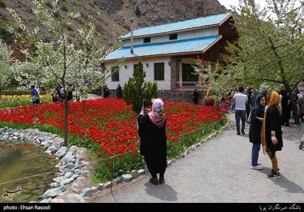 ایران .. أزهار التوليب11