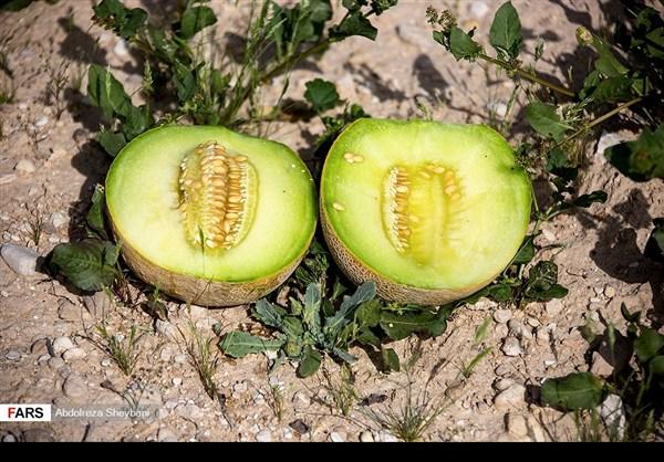 """جني """"الشمام"""" في محافظة هرمزكان جنوبي ايران 11"""
