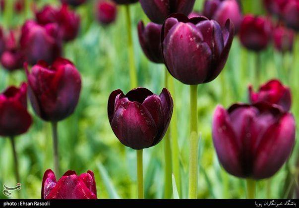 ایران .. أزهار التوليب12