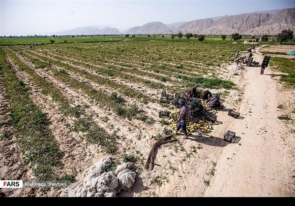 """جني """"الشمام"""" في محافظة هرمزكان جنوبي ايران 12"""